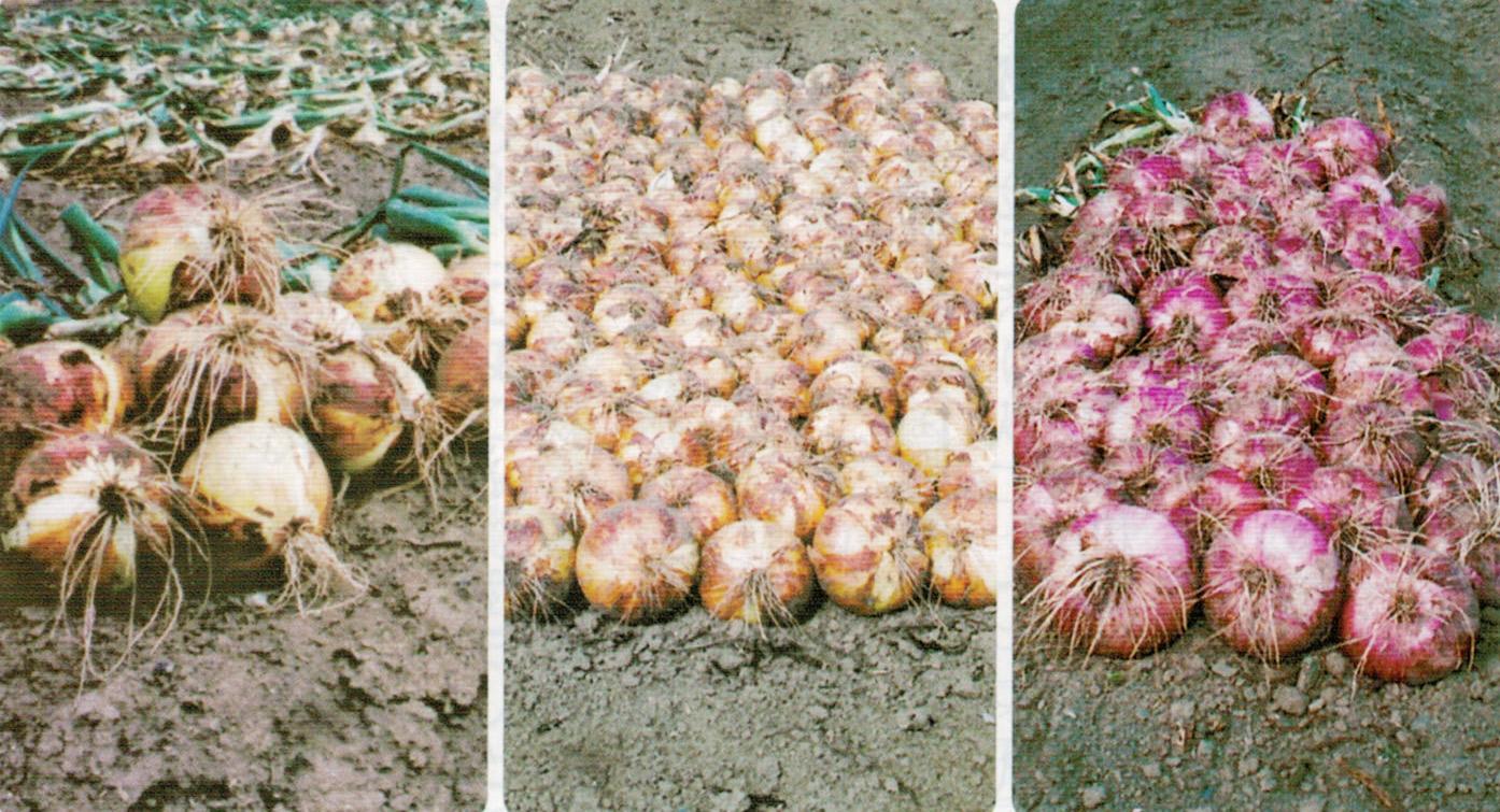 HB-101と顆粒HB-101と活力肥HB-101で大きく甘い玉ねぎを育てることが出来ます。