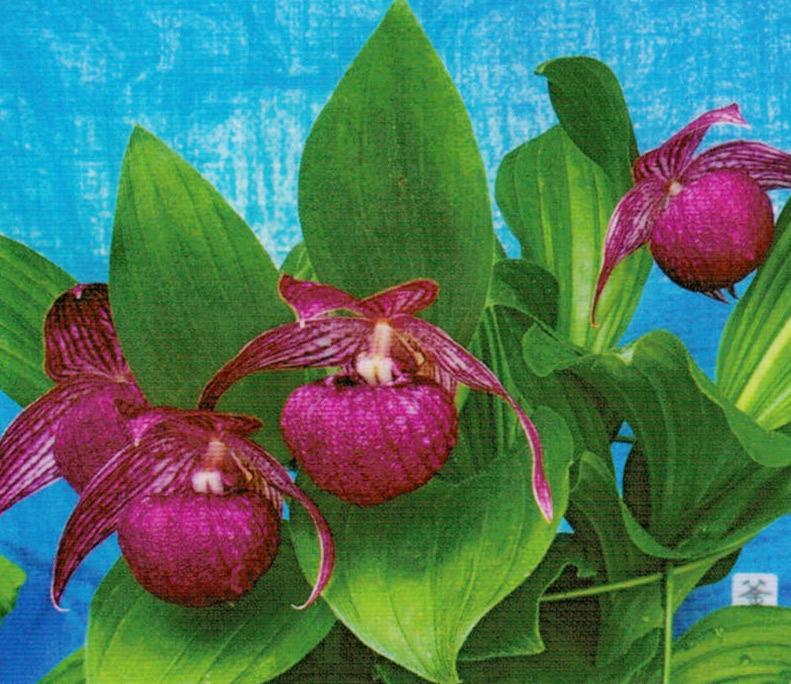長野県アルプス(釜無地方)産のアツモリ草です。HB-101と顆粒HB-101で植え替えして、HB-101を使い続けて2年目で開花しました。