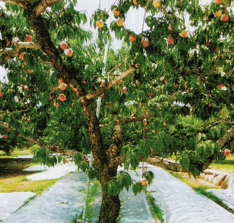 HB-101を20年間使用しているので桃の木が本当に元気です。