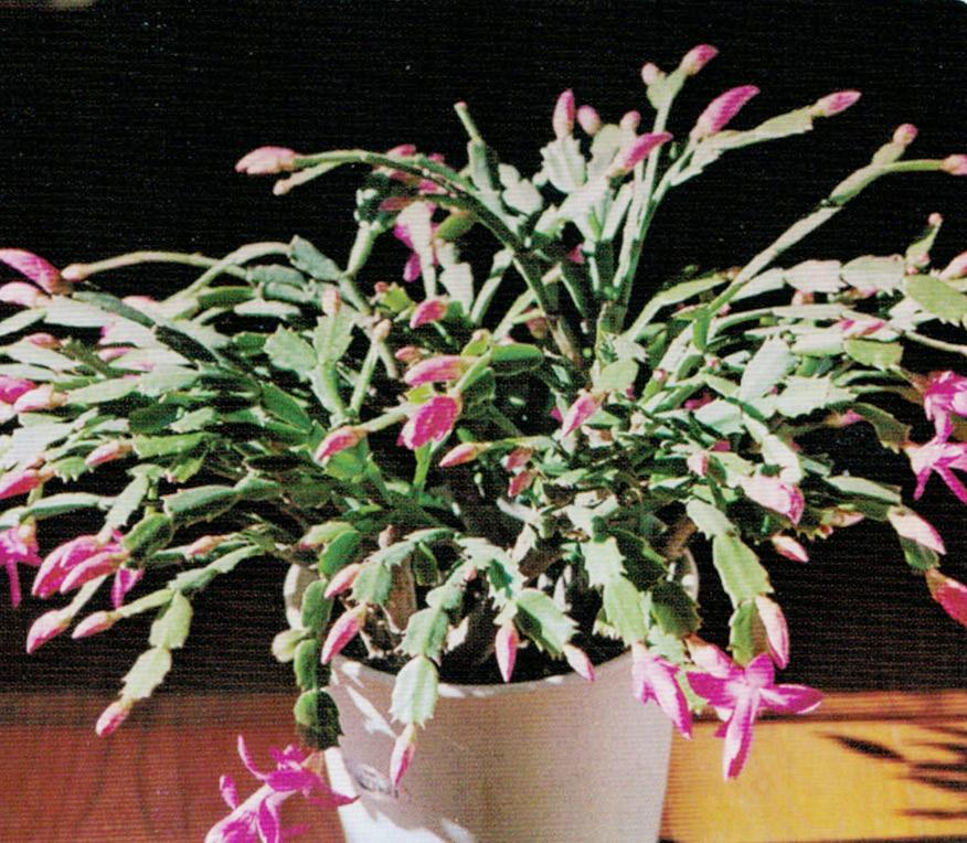 HB-101と顆粒HB-101を使用するとシャコバサボテンの節間から花芽が出て花やかさが増します。