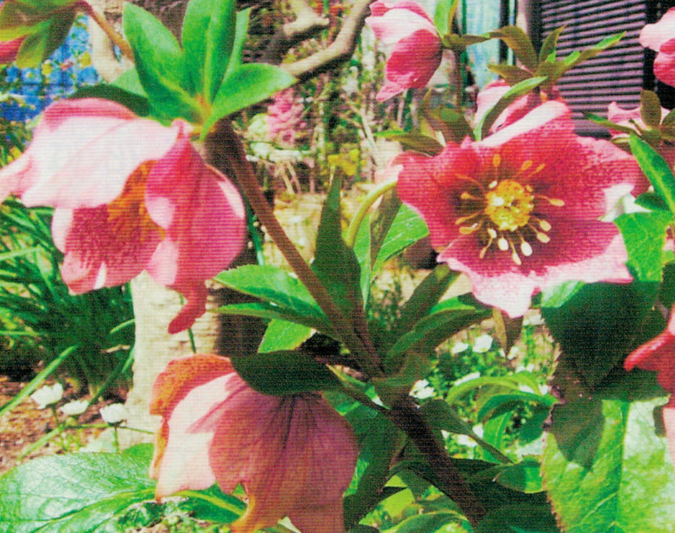元気がない花にHB-101を散布すると行き帰り、葉は緑が濃く、花はより鮮やかに生き生きとなります。