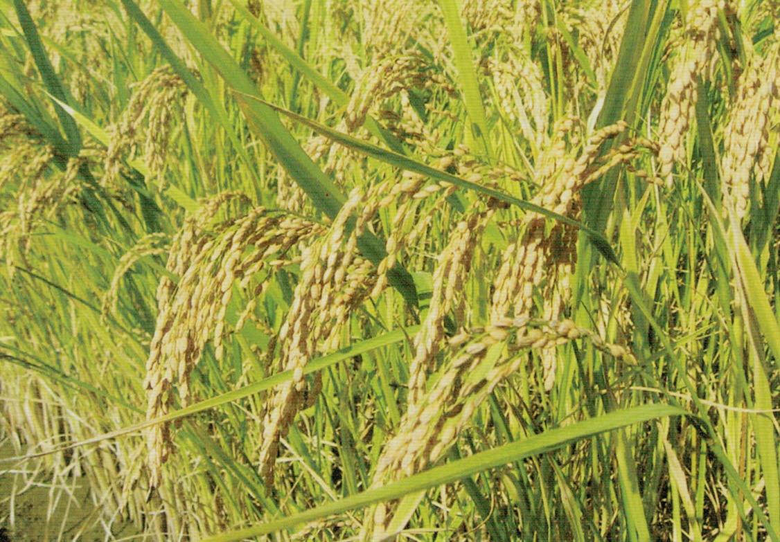 HB-110で粒の張りがよく、おいしく立派なお米が出来ました。
