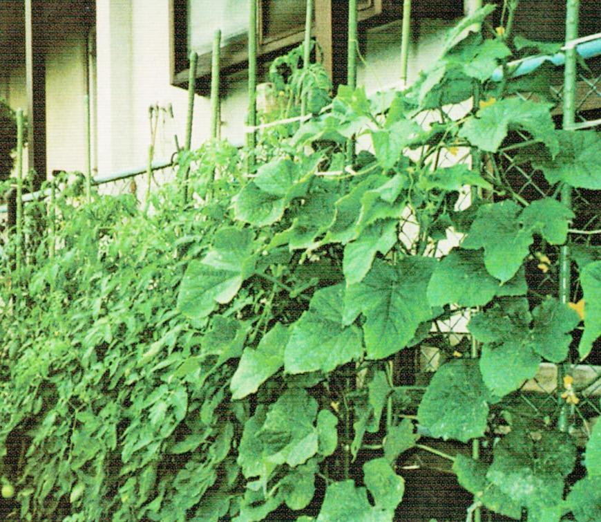 HB-101で花、葉、幹がすごく、トマトは200個近くなりました。