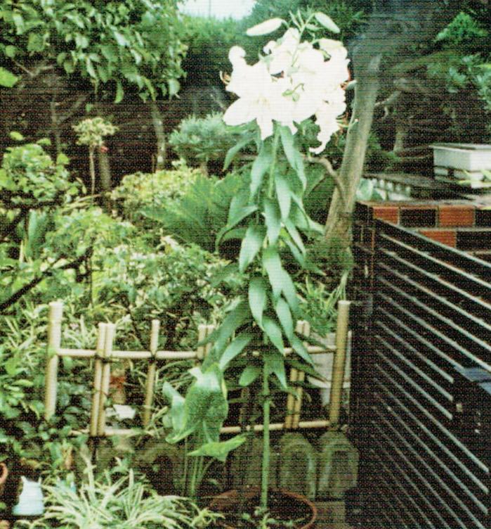 HB-101で私の背より高く、見事に咲いたカサブランカです。