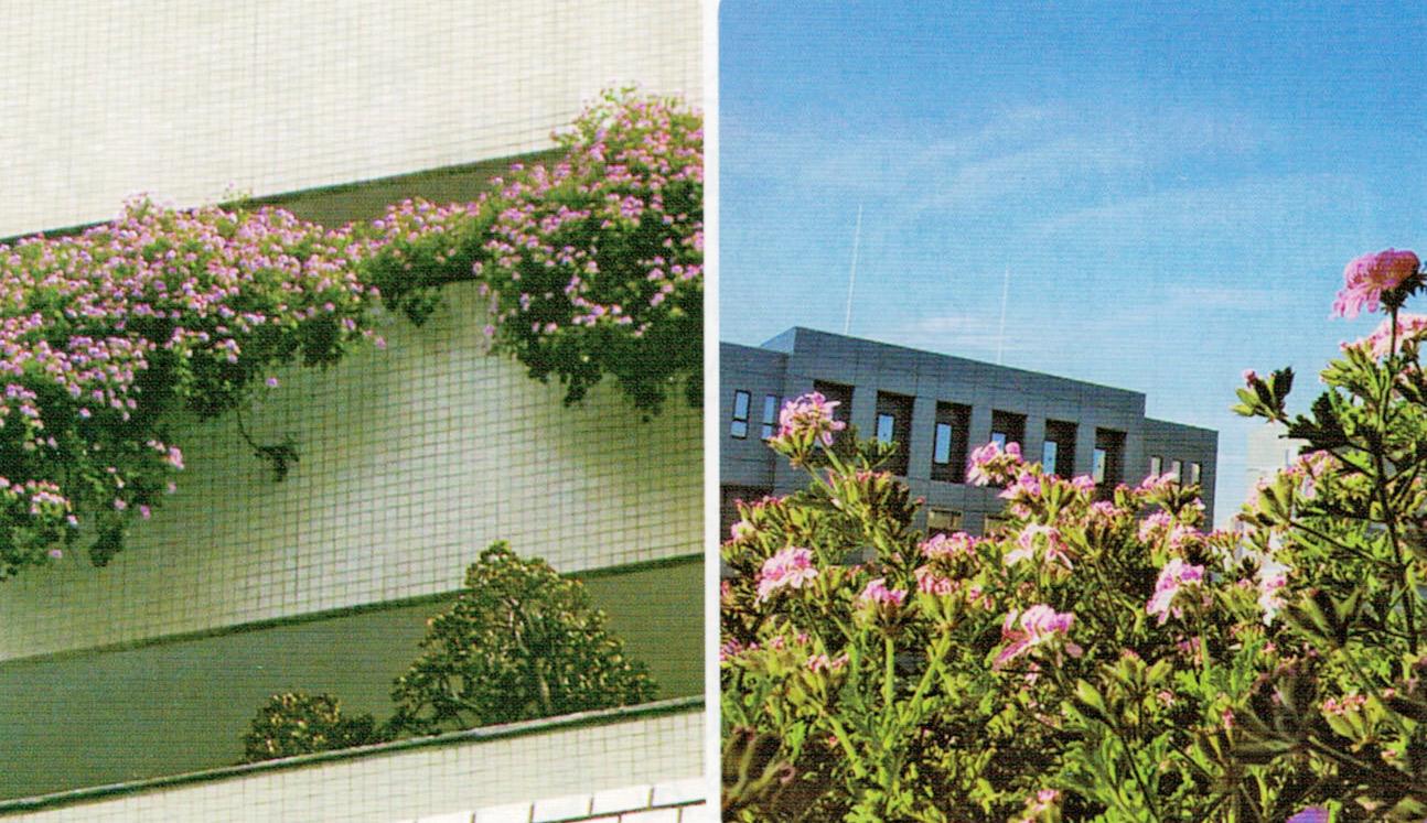 HB-101で虫取草が8階から7階まで下がって見事なピンクの花を咲かせています。