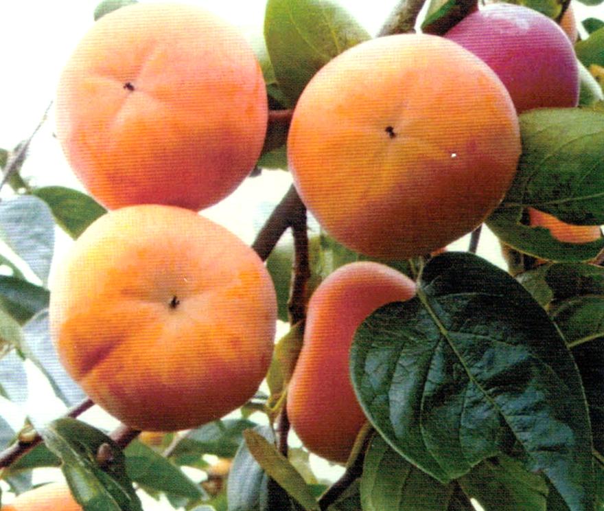 HB-101で柿の色付きが良く、大きさが揃い、糖度がアップしている