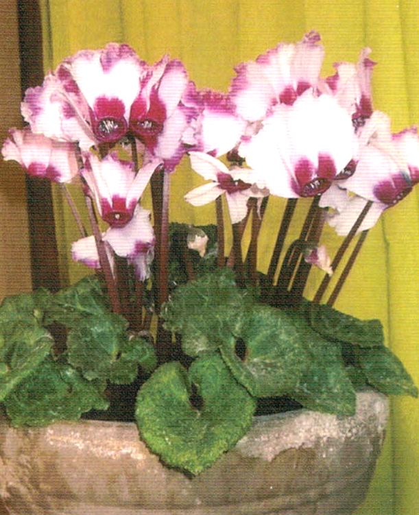 HB−101で8年間、シクラメンが美しい花を咲かせている