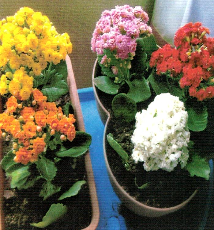 HB-101で5色のカランコエがとてもきれいに咲いている