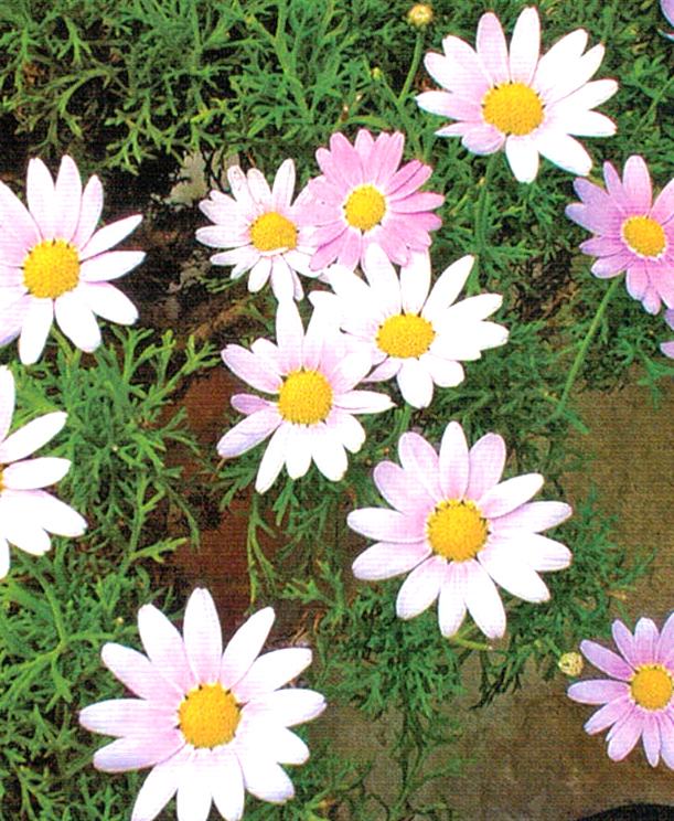 HB-101でマーガレットがきれいに咲く