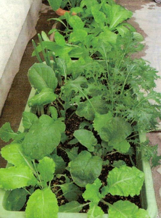 HB-101で野菜は食べきれない程収穫できる