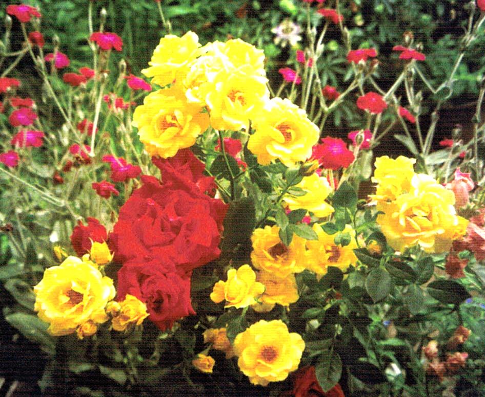 HB-101できれいな花が立派に咲いた