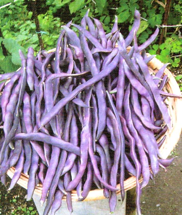 HB-101で10kgの紫インゲンが収穫でき、紫インゲンのサヤは25cm以上育ち、大きな豆が入りました。
