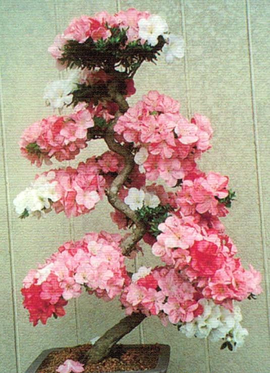 HB-101で花の色分けが鮮明で見事な花を咲かせてくれます。
