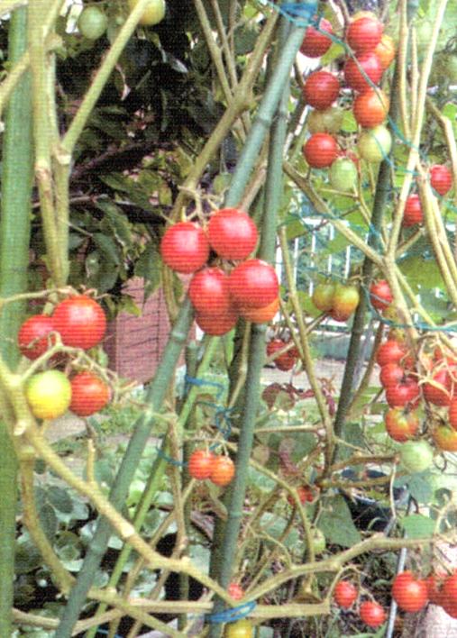 HB-101で背の高さが2mを超え、100個以上のミニトマトの収穫ができました。