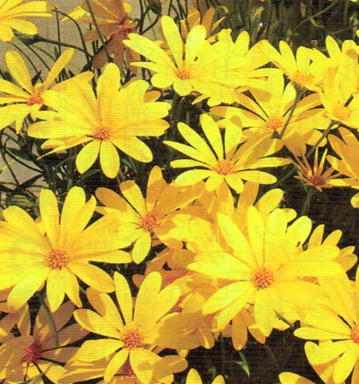 元気のない花達がHB-101で元気になり、虫もほとんどつきません。