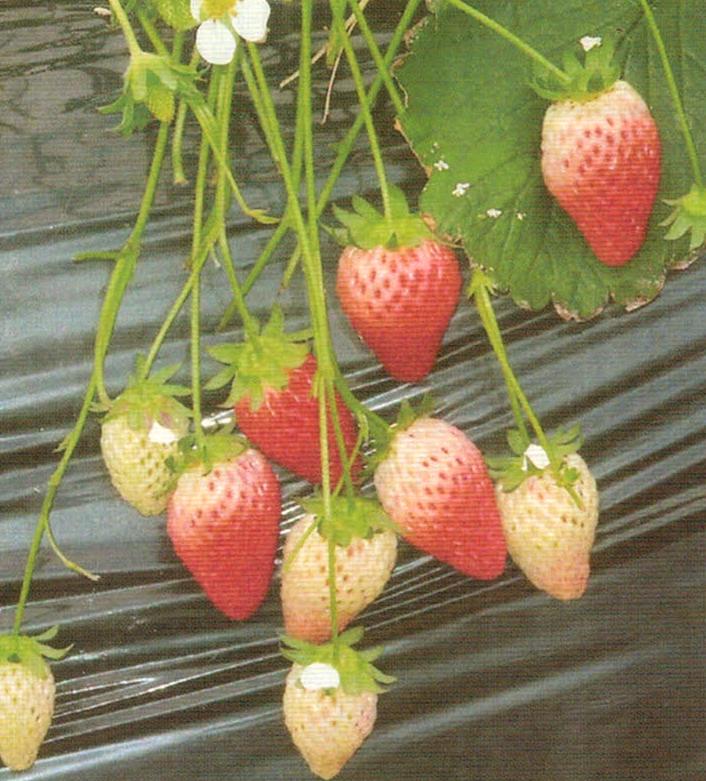 HB-101で収穫量が増えます。