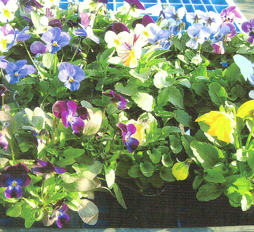 HB-101で花の色と葉の色が濃くなります。