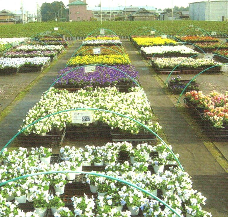HB-101で花つきが良く、長く咲いていると評判になっています。