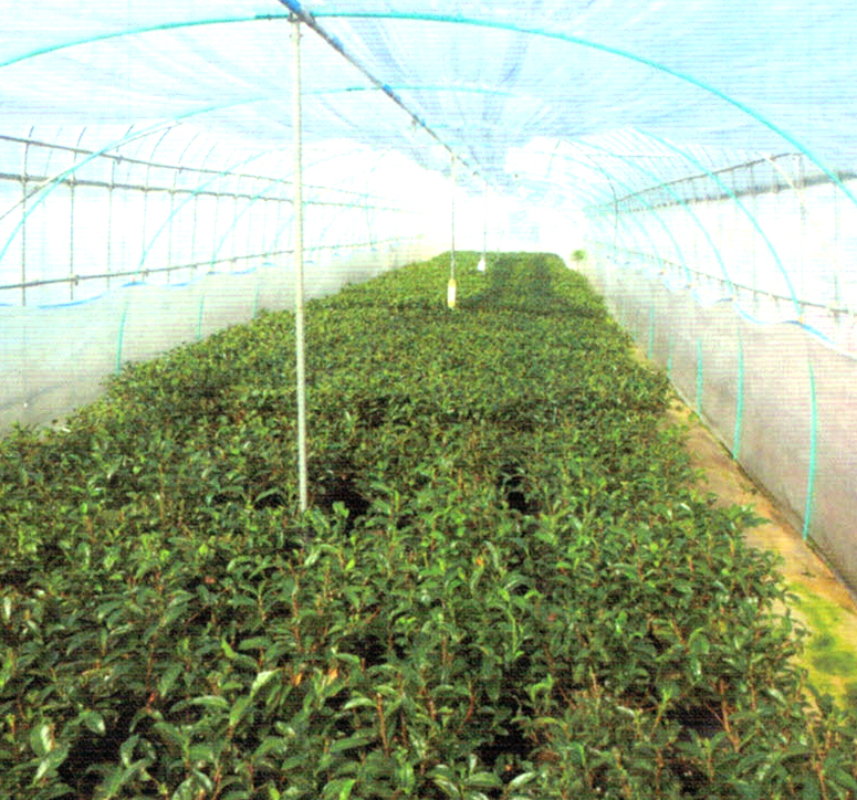 HB-101でお茶の葉の伸びが良く、お茶を入れた時の香りと味と水色が素晴らしいです。