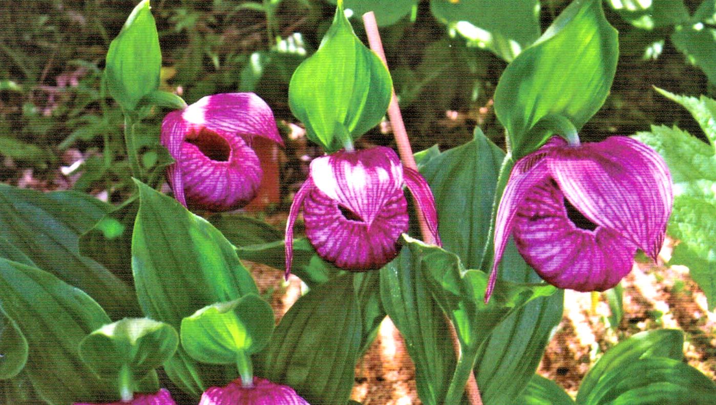 HB-101で花が大きく育ちます。