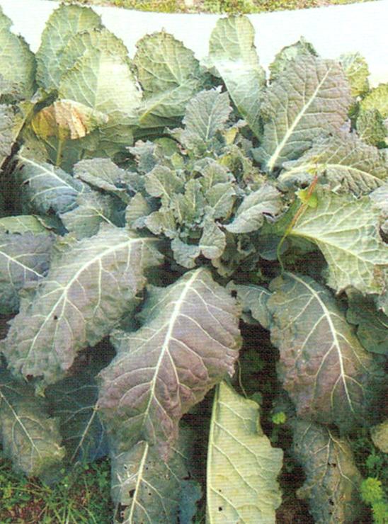HB-101で新品種のアレッタの茎が大きく主軸もしっかりしています。