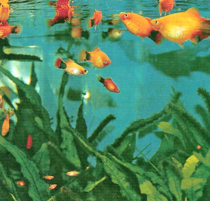 熱帯魚のプラティの水槽に週に1回水を足す時に、HB-101を4〜5滴入れると、常に水が澄んでいます。HB-101で水草の生育が良く、緑が美しいです。