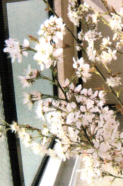 HB-101と顆粒HB-101で挿し木して2年目のサクラは満開になり、初めてサクランボがなりました。