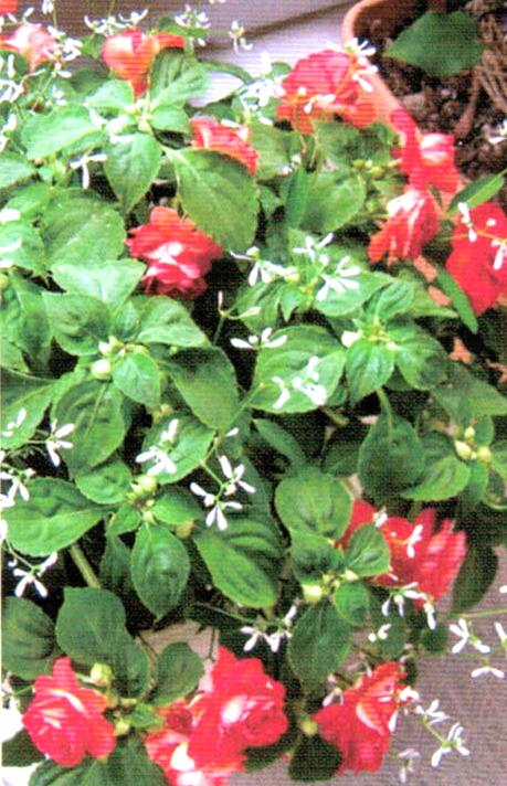 HB-101と顆粒HB-101のおかげで花花花となり幸せいっぱいです。
