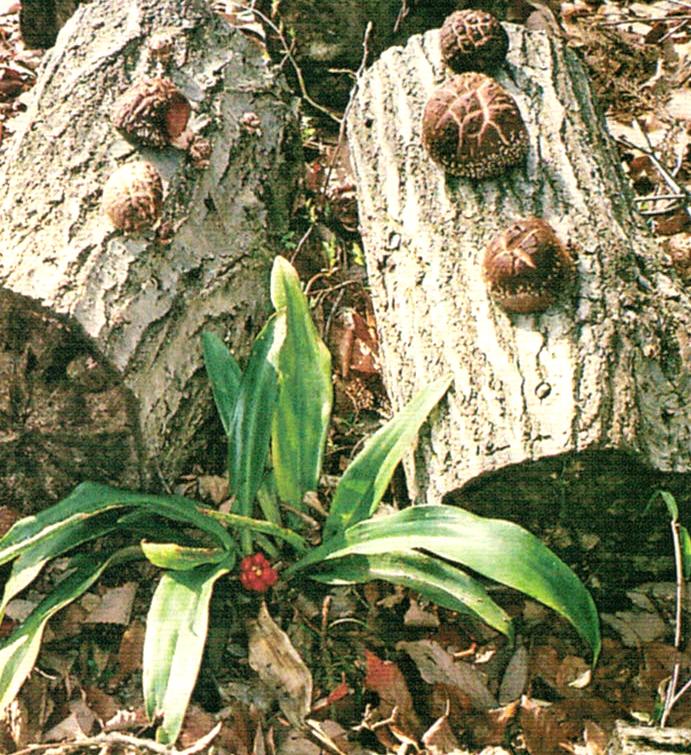 HB-101を椎茸の木に散布していたら木のあいだから赤い実をつけた植物が出てきました。