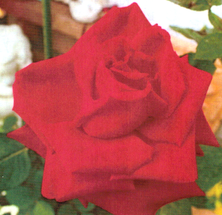 HB-101で育つバラの花の色は、とても鮮やかです。