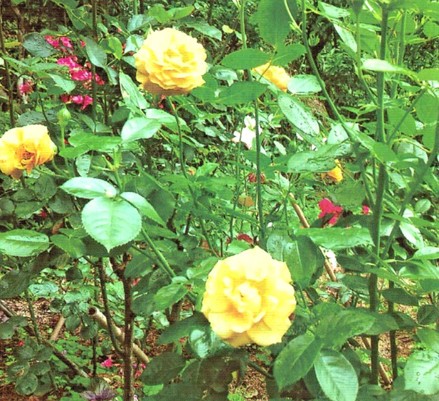 HB-101で45本のバラを栽培しています。