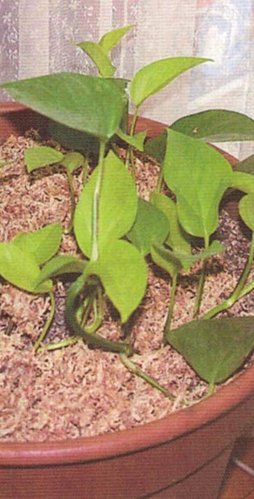 2〜3本枝を切ってHB-101に漬けておくと根が出てきて育ち始めました。