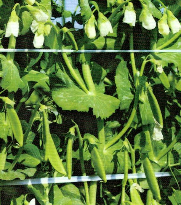 HB-101の千倍液を7回散布します。樹勢が良好で、花つきも極めて優れています。