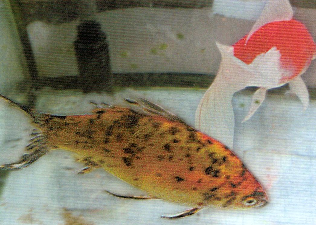HB-101で2匹の金魚はそれぞれ体調が18cm、体重が1kg以上あります。