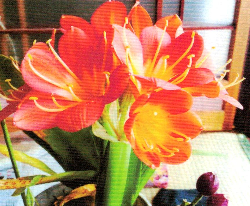 HB-101のおかげでクンシランがすばらしく満開です。花のえび茶色の2ヶの種を蒔いてみようと思っています。