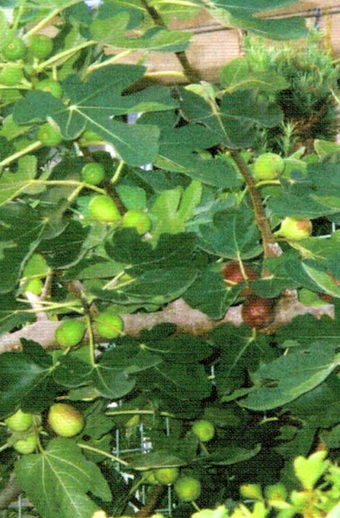 HB-101で昨年はイチジクの1本の木から400個のイチジクが取れました。