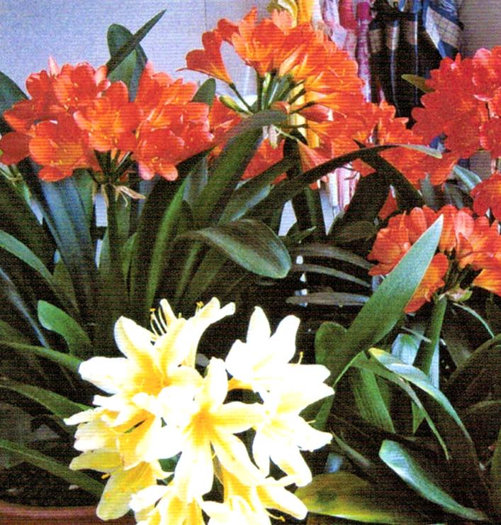 HB-101と顆粒-101で毎年見事に咲いてくれます。