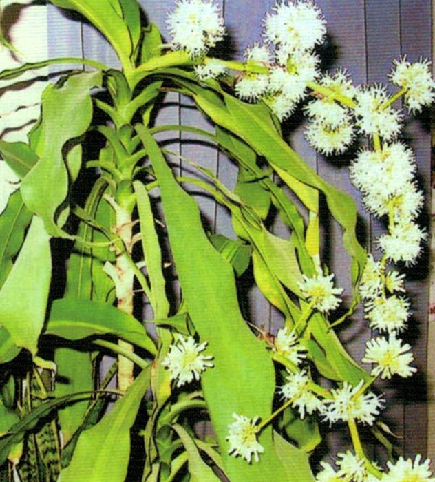 HB-101で平成26年4月28日に見事に咲いた幸福の木です。