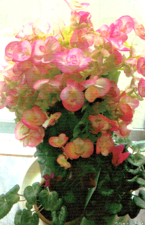 HB-101でリーガースベゴニアは花で頭が重くて倒れそうな位花をつけます。