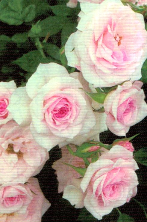HB-101でバラがものすごくきれいです。