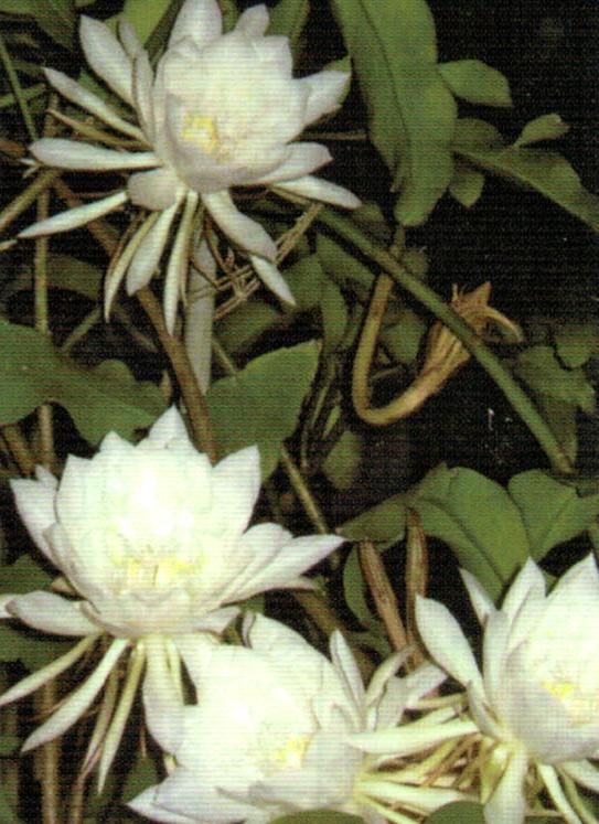 HB-101のおかげで月下美人に29個の花が咲きました。