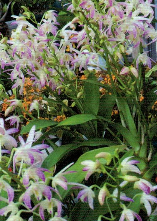 HB-101でギンギギアナムは1つの株から6本から7本も花茎が出ました。