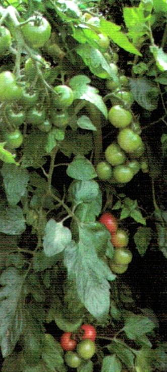 HB-101で5.6kgのでんすけスイカや中玉トマトが食べ切れない程、収穫できます。