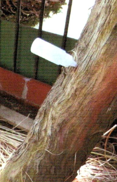 枯れそうな樹齢60年のマキの木にドリルで穴をあけそこへプラスチック容器をさしこみ、HB-101の50倍液を流し込んだら元気に蘇りました。