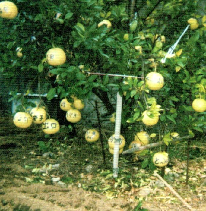 これは晩白柚(ばんぺいゆ)です。HB-101で約2kgはあります。たくさんなって次の年はあかんかなと思っていても割と大きくなります。