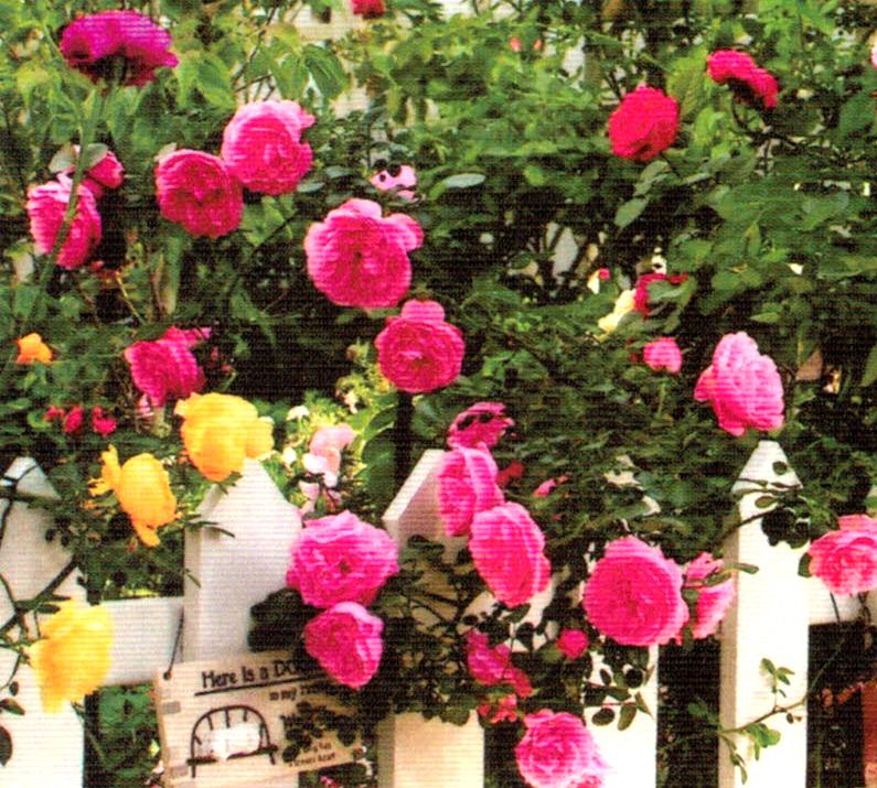 バラの棚やパーゴラも自分で手作りします。イングリッシュローズなどが最盛期は数え切れないほど花が咲きます。