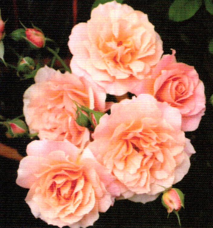 HB-101で育てるバラは花つきが良く色合いも本当に美しいです。