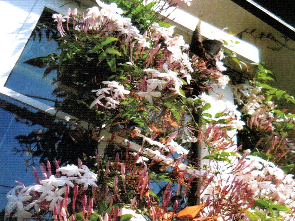 HB-101のおかげでジャスミンの花がすごくきれいに美しく咲きました。