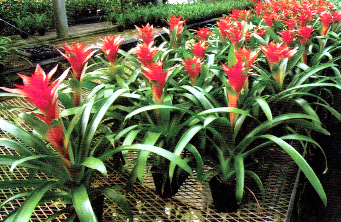 HB-101でグズマニアの花や葉の色が鮮やかになります。