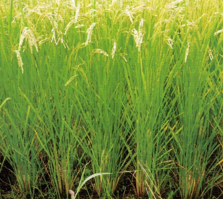 HB-101で育てた名曲米は生長が早くなり、食味が向上し、食感が良く、米が冷めてからも甘みが出ます。